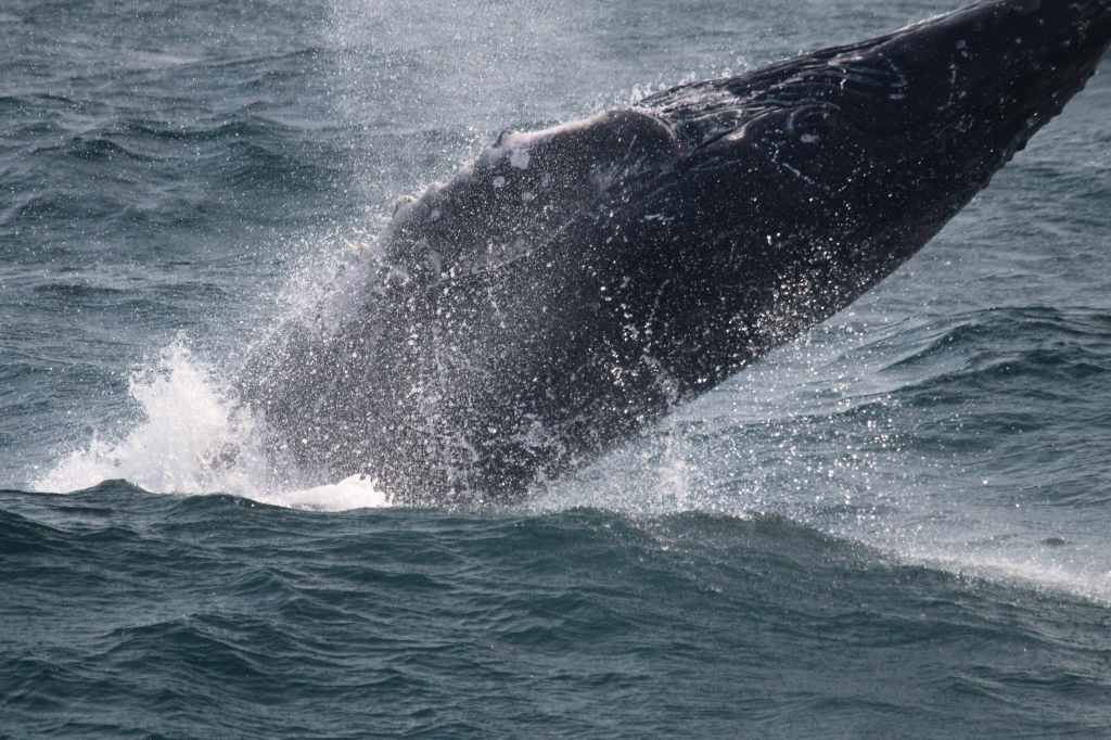 Whale watching off Cape Cod
